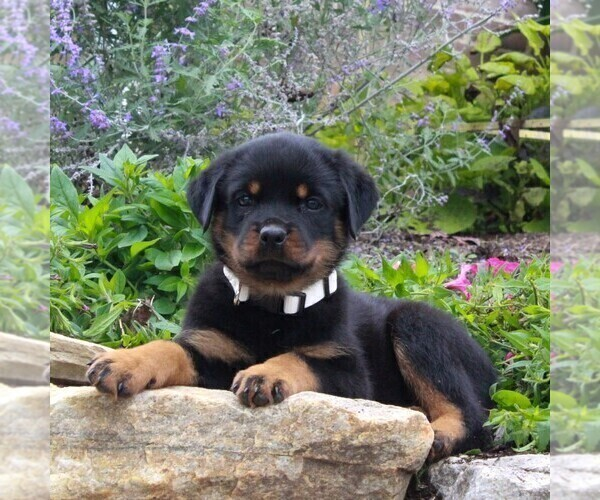 Medium Photo #2 Rottweiler Puppy For Sale in GAP, PA, USA
