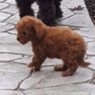 Poodle (Toy) Puppy For Sale in GAP, PA,