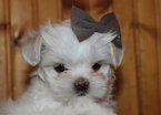 Mal-Shi Puppy For Sale in CONOVER, NC, USA