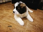 Moscow Watchdog Puppy For Sale in SAN ANGELO, TX, USA