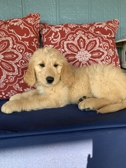 Goldendoodle Puppy For Sale in OAKDALE, CA, USA