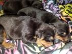 Doberman Pinscher Puppy For Sale in STUART, FL,
