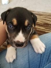 Siberian Husky-Staffordshire Bull Terrier Mix Puppy For Sale in OAKDALE, CT, USA