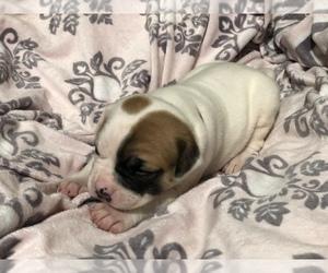 American Bulldog Puppy for sale in ANTIOCH, CA, USA