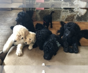 Labradoodle-Poodle (Standard) Mix Puppy for sale in EMMITSBURG, MD, USA