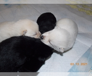 Schipperke Puppy for sale in OKC, OK, USA