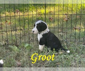 Sheepadoodle Puppy for sale in BAILEYTON, TN, USA