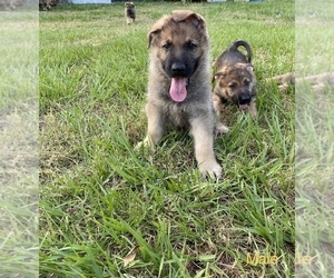 German Shepherd Dog Puppy for Sale in PLANT CITY, Florida USA