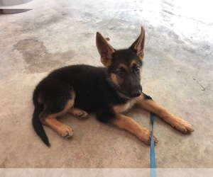 German Shepherd Dog Puppy for Sale in CAMBRIDGE CITY, Indiana USA