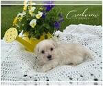 Small Photo #5 Maltipoo Puppy For Sale in NIANGUA, MO, USA