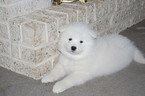 Samoyed Puppy For Sale in BETHLEHEM, PA, USA
