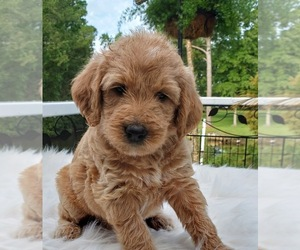 Labradoodle Puppy for Sale in WASH, North Carolina USA