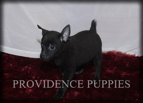 Fox Terrier (Toy)-Schipperke Mix puppy
