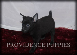 Fox Terrier (Toy)-Schipperke Mix Puppy For Sale in WAYLAND, IA, USA