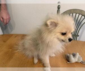 Pomeranian Puppy for sale in BRIGHTON, CO, USA