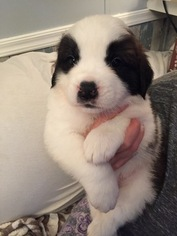 Saint Bernard Puppy For Sale in COPEMISH, MI, USA