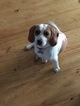 Beagle Dog For Adoption in TRAVELERS REST, SC