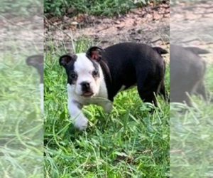 Boston Terrier Puppy for sale in GORHAM, NH, USA