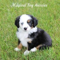 Miniature Australian Shepherd Puppy for sale in BYRON, NY, USA