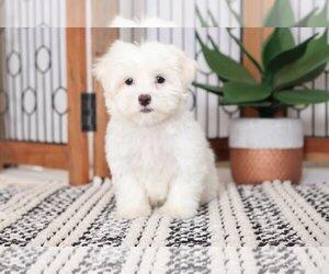 Maltese Puppy for sale in NAPLES, FL, USA