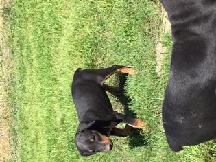Doberman Pinscher Puppy for sale in KAUFMAN, TX, USA