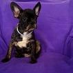 French Bulldog Puppy For Sale in DANIA, FL, USA