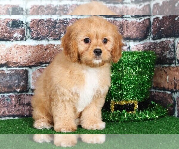 Medium Photo #1 Cavapoo Puppy For Sale in BEL AIR, MD, USA