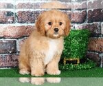 Small Photo #1 Cavapoo Puppy For Sale in BEL AIR, MD, USA