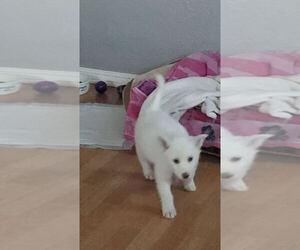 Alaskan Husky Puppy for sale in UMATILLA, OR, USA