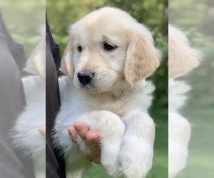 Golden Retriever Puppy for Sale in MORGANTOWN, Indiana USA