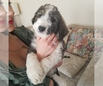 Puppy 4 Bordoodle