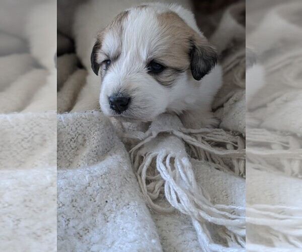 Medium Photo #89 Great Pyrenees Puppy For Sale in FALCON, CO, USA