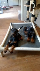 Doberman Pinscher Puppy For Sale in GRAY COURT, SC