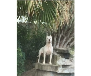 Dogo Argentino Puppy for Sale in PICAYUNE, Mississippi USA