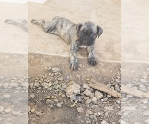 Bullmastiff Puppy for sale in STATESVILLE, NC, USA