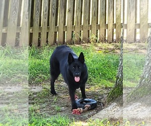 German Shepherd Dog Dogs for adoption in UPPER MARLBORO, MD, USA