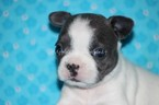 Faux Frenchbo Bulldog Puppy For Sale in ARMSTRONG, OK, USA