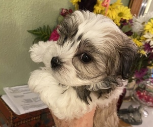 Morkie Puppy for Sale in TAMPA, Florida USA