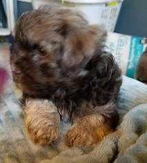 Havanese Puppy for sale in HELVETIA, OR, USA