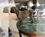 Puppy 3 Boxer