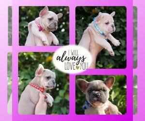 French Bulldog Puppy for sale in PORTERVILLE, CA, USA