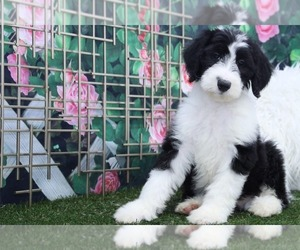 Sheepadoodle Dog for Adoption in MARIETTA, Georgia USA
