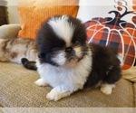 Puppy 1 Pekingese