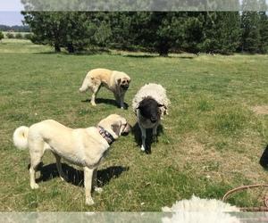 Mother of the Anatolian Shepherd puppies born on 06/01/2019