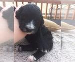 Puppy 6 Bernedoodle-Goldendoodle Mix