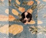 Small #19 Border Collie