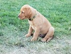 AKC Yellow Labs