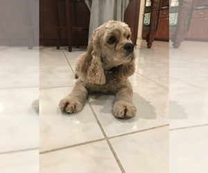 Cocker Spaniel Puppy for Sale in LAKELAND, Florida USA
