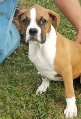 Boxer Puppy For Sale in ARTHUR, IL