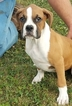 Boxer Puppy For Sale in ARTHUR, IL, USA